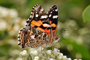 Australian_painted_lady_feeding (2)
