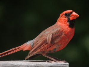 Male_Cardinal_Broadside (2)