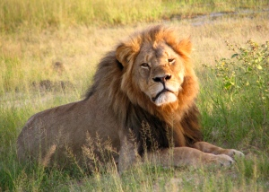 Cecil_the_lion_at_Hwange_National_Park_(4516560206)