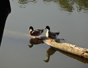 Ducks_in_the_ponds