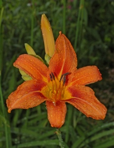 Orange_Lily_Lilium_sp_Rain_2000px
