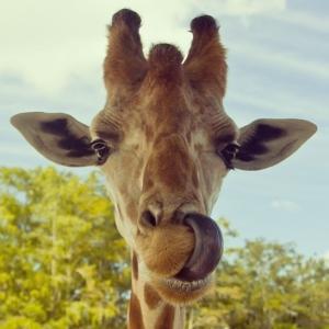Giraffe's_tongue