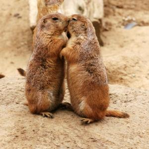 Kissing_Prairie_dog_edit_3