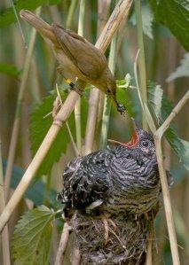 Reed_warbler_cuckoo
