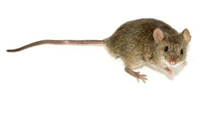 Мышь_2